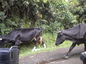 Photo: We jumped off the bike and stood on the other side of it when these bulls came walking down the narrow dirt road we were on. They were indifferent to us. Thankfully it was not a RED bike! :)