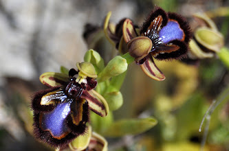 Photo: Ophrys speculum, Orchidaceae