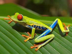 Photo: The red-eyed tree frog.  What we see is a colorful and beautiful frog. In actuality everything we see it something that our brain was created to see. If seeing the color blue was not selected via natural selection we would not be able to see it. As we can't see some colors on the color spectrum, can't hear some sounds and just can't perceive some things that other animals can. The real world does exist but not as we see or even feel it.