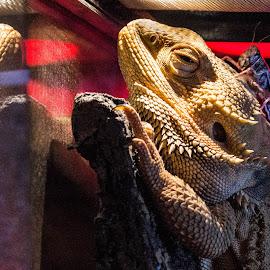 He's behind you! by Helen Andrews - Animals Reptiles ( #beardie #dragon #bug #food #reptile )