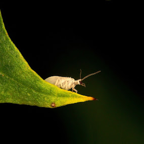 dustywing lacewing by Marko Lengar - Animals Insects & Spiders ( dustywing, lacewing, coniopteryx )