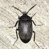 Velvety Bark Beetle