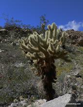 Photo: Cholla cactus, Anza Borrego Desert