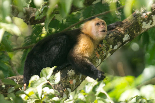 A white-faced capuchin looks for higher ground at Monkey Island in Panama.