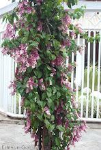Photo: Lágrima de Cristo Rosa ( Clerodendron speciosum ) - Pequeno porte, gosta de meia-sombra, terra fértil, umidade constante, com solo drenado.