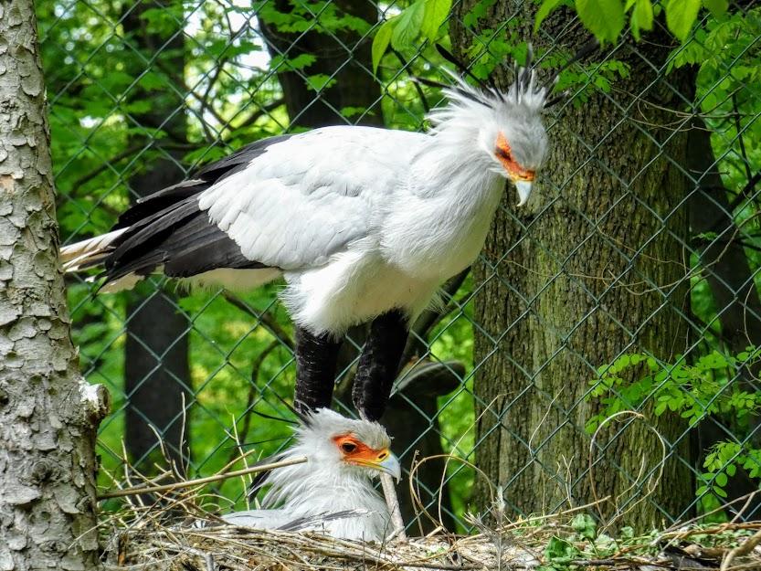 Ptak sekretarz w gnieździe