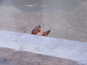 Photo: chicken search for food in rain.