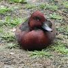 Ferruginous Duck (Male)