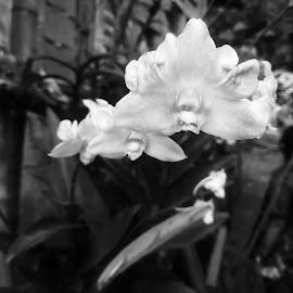 Tripple treat by Adoracion Bautista - Nature Up Close Gardens & Produce ( flors, orchids, flowers,  )