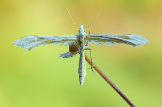 Photo: Pterophoridae sp. http://lepidoptera-butterflies.blogspot.com/ https://www.facebook.com/pages/Macro-Photography-Do-Dema/540798875993427