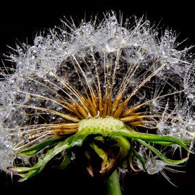 dandeloin by Andrew Savasuk - Nature Up Close Flowers - 2011-2013