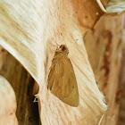 Erionota torus 黃斑蕉弄蝶