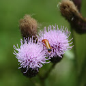Common Red Soldier Beetle