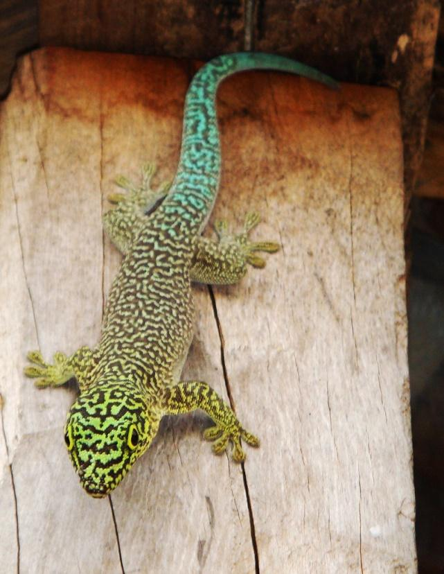 Image result for standing day gecko