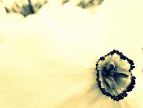 Photo: Cross process close up photo of a daffodil at Wegerzyn Gardens in Dayton, Ohio.
