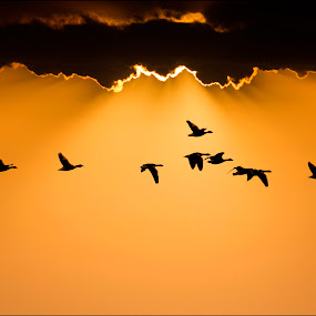 Golden Fliers by Adrian Campfield - Landscapes Sunsets & Sunrises ( clouds, orange, silhouette, white, yellow, feathers, birds, rays, shadows, flight, red, sky, sunset, amber, wings, sunrise, gold, geese, evening, black )