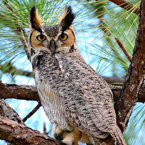 Mr. Owl by Ruth Overmyer - Animals Birds (  )