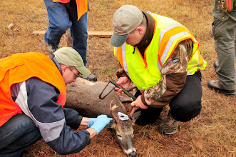 Photo: Deer harvested during the 2012 Camp Ripley Open Archery Hunt  on October 18, are examined by researchers and ticks are extracted that will be tested for disease at the University of Minnesota. (Photo by 1st Lt. Blake St. Sauver)(Released) Story: http://www.minnesotanationalguard.org/press_room/e-zine/articles/index.php?item=4252