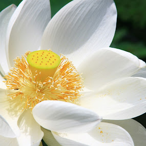 White Lotus by Beng Lim - Nature Up Close Flowers - 2011-2013 ( water, lotus, waterlily, lily, green, white, bloom, leaves, flower, floral )