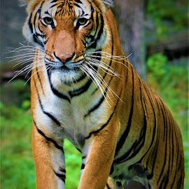 July 2018 - Malayan Tiger by Elizabeth Hoyle - Animals Lions, Tigers & Big Cats ( travel photography, bronx, new york city, nyc, zoo, tiger, travel, new york, tigers, wildlife, bronx zoo,  )