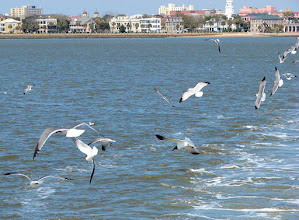 Photo: Laughing gulls follow our boat as we depart Charleston for Fort Sumter
