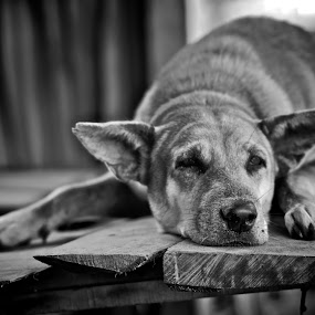Tired by Adhi Anggadjaja - Animals - Dogs Portraits
