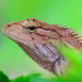Garden lizard  by Asif Bora - Animals Reptiles