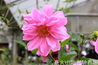 Photo: 拍攝地點: 梅峰-溫帶花卉區 拍攝植物: 大理花 拍攝日期:2013_09_28_FY