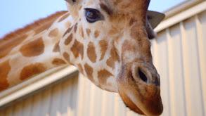 Giraffe-ic Park thumbnail