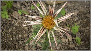Photo: Floarea comoară, Gazania-margaretă (Gazania spp) - 2019.06.10