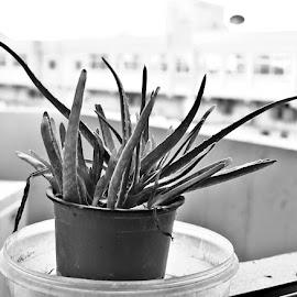 by Drrashid Taj - Black & White Flowers & Plants (  )