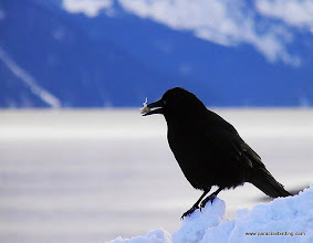Photo: Northwestern Crow with fish bone, Seward harbor