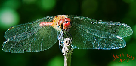 Photo: Red Dragonfly Photograph