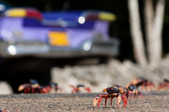 """Photo: Every April, millions of female red land crabs emerge from the forests on the south coast of Cuba and head for the ocean. There, they lay their eggs then make their way back the way they came. The journey can be up to several kilometres each way, and many don't survive it.  Crossing the road is a particular problem where they get run over in huge numbers. I can personally attest to this. When we got caught out by the crabs in large numbers, we drove slowly and carefully but try as we might it was impossible to dodge them all. In places, the road before us was more squashed crab than tarmac.  Fortunately for the crabs, this confrontation isn't completely one sided. We had been warned earlier that cars often get punctures from the hard shells, but I didn't realise quite how serious that warning was until we discovered one of our tires had gone down later that evening. Upon closer examination we discovered no less than four large pieces of crab shell embedded deeply in two tires. One pointed piece of claw buried in the tire was about 1cm wide and 5cm long! That explains why there was so few cars on the road...  I guess it's not surprising the locals are adept at fixing these punctures. We whipped the wheels off and took them to a man's backyard, just next door to our casa particular. He had the holes patched up pretty quickly with very basic tools. In fact two of the holes he """"repaired"""" in about 10 seconds by jamming condoms into them with a metal prong! Though I was a bit sceptical, the repairs lasted us just fine for the remaining week of our journey. Colour me impressed :)  All in all a surreal experience that I won't forget in a hurry. I'd quite like to go back in two months time to witness the many millions of baby crabs when they too make the journey back from the sea to the forest.  Another one for #WildlifeWednesday , curated by +Mike Spinak"""