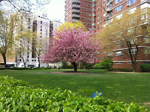 Photo: Blossoms on my way to work