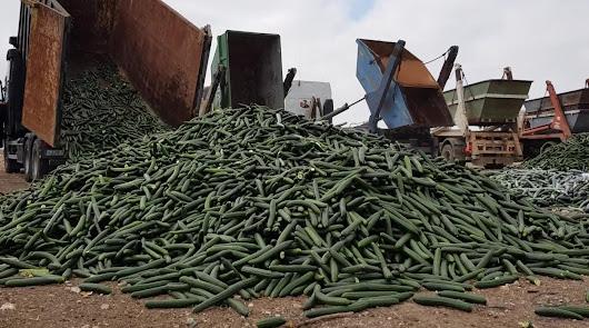 El sector hortícola de Almería y Granada retirará del mercado el 30% de pepino