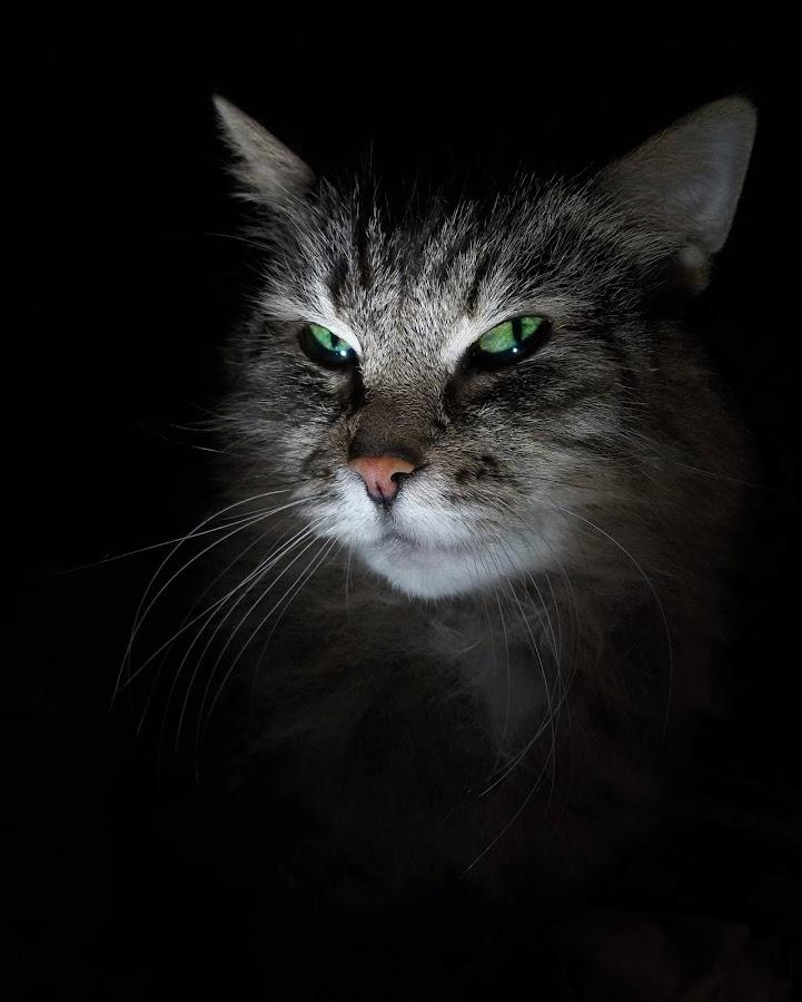 Royal look by Jurijs Ratanins - Animals - Cats Portraits ( mobilography, cat )