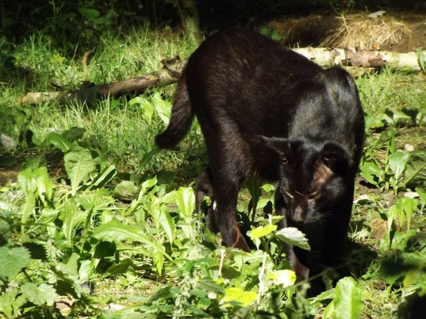 Chat des marais noir, Parc des Félins - Tous droits réservés