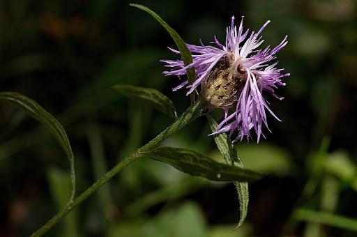 Centaurea nigra