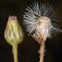 Lachnophyllum