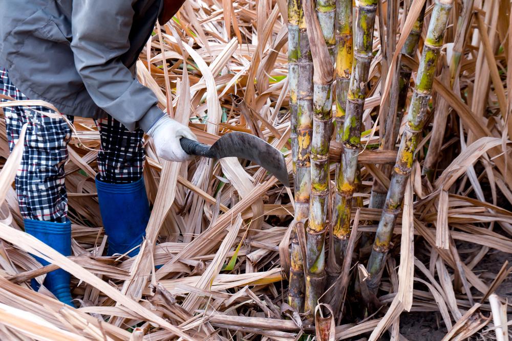 Produção de cana sobreviveu a forte seca para apresentar números positivos. (Fonte: Shutterstock)