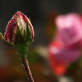 After a rain-bath ! by Debartist Lightpainter - Flowers Flower Buds