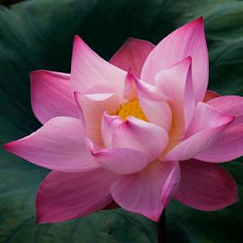 by Steven De Siow - Flowers Single Flower ( lotus flower, flower photography, flower closeup, lotus, pink flower,  )