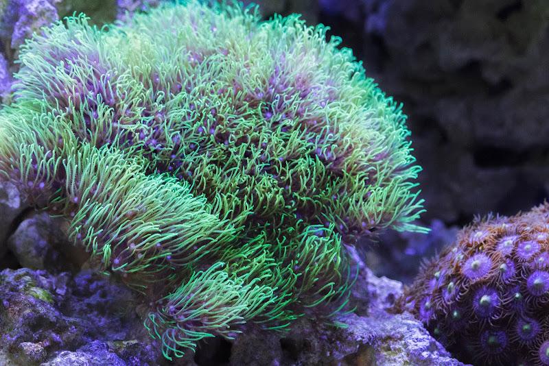 Corallo verde di MA