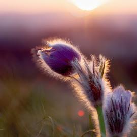 Pulsatilla single by Petr Olša - Flowers Single Flower