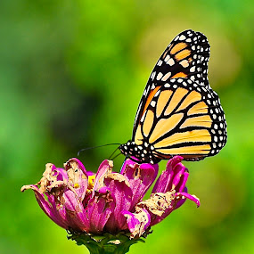 Monarch on a Zinnia by Doug Wean - Animals Insects & Spiders ( monarch butterfly, butterfly, zinnia, nature, nature up close, insect, garden, flower,  )