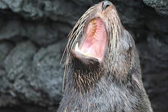 Photo: Fur seal yawning.