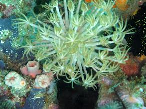 Photo: коралл цветочный горшок Goniopora