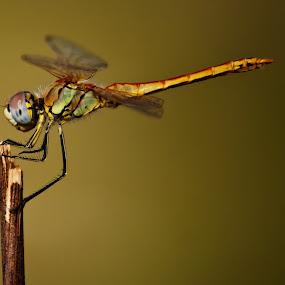 by Jens Klappenecker-Dircks - Animals Insects & Spiders