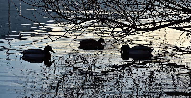 3 Anatrelle sul lago di aless78